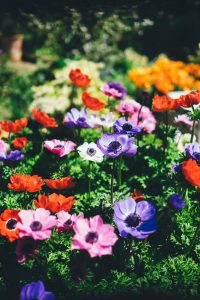 what's the difference in annuals and perennials