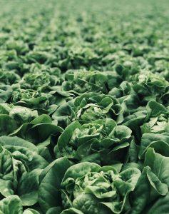 easy vegetables to grow - lettuce